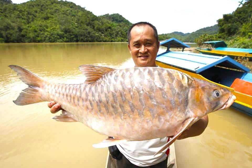 Ikan Empurau, RM1800 Sekilo! - Borneodihati.org | Laman ...