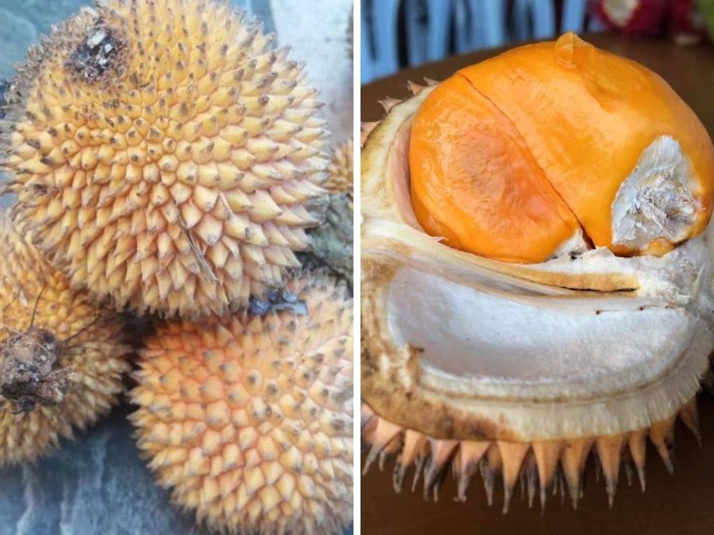 Jenis Durian Hutan Yang Terdapat di Borneo